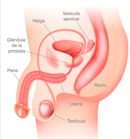 Próstata, causas, tratamiento. Salud masculina, urologo. MediQuo, Tu amigo médico. Chat médico.