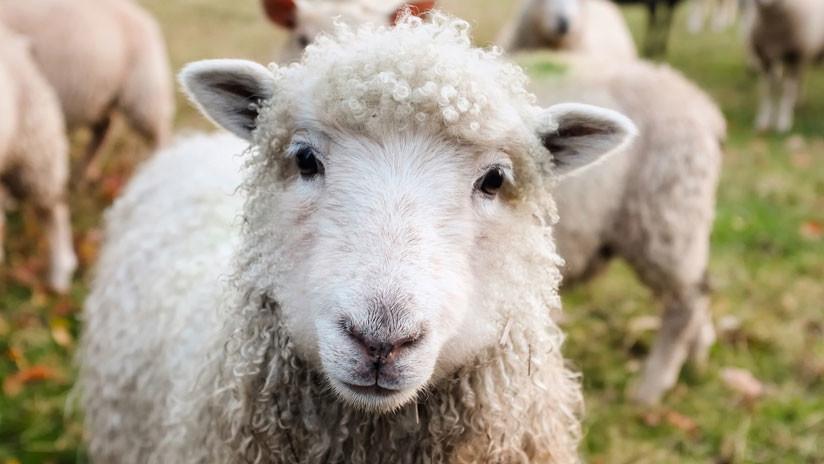 Leche de oveja. Leche de vaca y otras alternativas. MediQuo. Tu amigo médico. Chat médico.