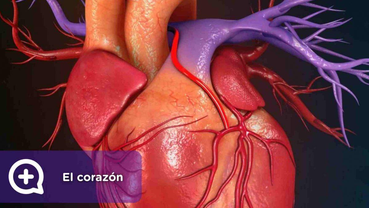 El corazón, órgano, función vital, latido, latir, cardiología, arritmia. mediquo, salud.
